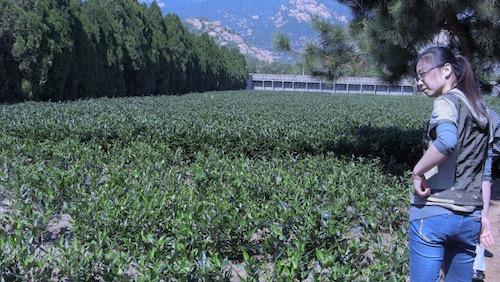 Tea Fields - Lao Shan Green Tea