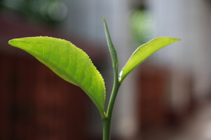 A freshly picked tea leaf, filled with flavor and health benefits.