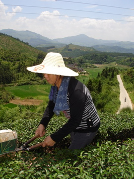 Huangtian picking tea