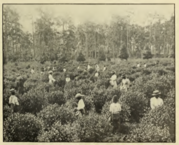 Tea Pickers at Pinehurst Tea Garden, Summerville, South Carolina.
